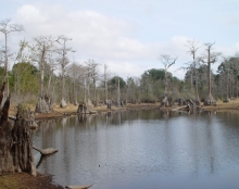 A view of the scenic cypress trees in Caryville, Florida.
